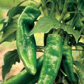 NuMex Conquistador Hot Peppers HP165-20