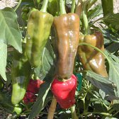 Santo Domingo Pueblo Hot Peppers HP392-10_Base