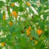 Tabasco Hot Pepper (Short Yellow) HP400-20