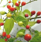 Wiri Wiri Hot Peppers HP1177-10