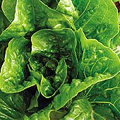 Winter Density Lettuce LC52-100_Base
