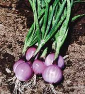 Purplette Onions ON24-100_Base