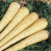 All American Parsnips PS1-100_Base