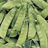 Oregon Sugar Pod II Snow Peas PE5-50