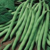 Blue Lake Pole Beans BN66-50_Base