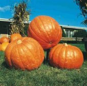 Big Max Pumpkins PM2-10