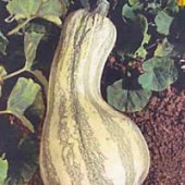 Green Striped Cushaw Pumpkins PM22-10