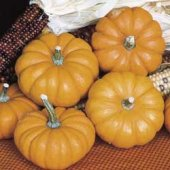 Jack Be Little Pumpkins PM6-10_Base