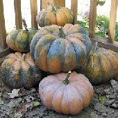 Musquee de Provence Pumpkins PM50-10_Base