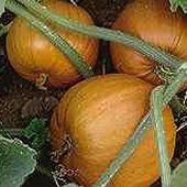 Small Sugar Pumpkins PM11-10_Base