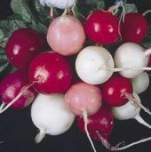 Easter Egg Radishes RD4-50