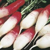 French Breakfast Radishes RD5-50