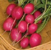 Pink Beauty Radishes RD24-50