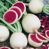 Watermelon Radishes RD48-50_Base