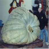 Giant Show King Squash SQ12-5_Base