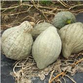 New England Blue Hubbard Squash SQ68-20