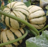 Sweet Dumpling Squash SQ20-20_Base
