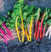 Northern Lights Mix Swiss Chard SW16-50