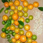 Calamansi Citrus Fruit Trees TR23-5