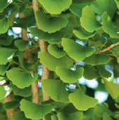 Ginkgo Tree TR17-5_Base