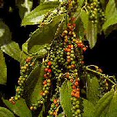 Peppercorns (Black Pepper) TR4-20