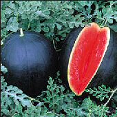 Blacktail Mountain Watermelons WM52-20