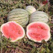 Dixie Queen Watermelons WM31-20_Base